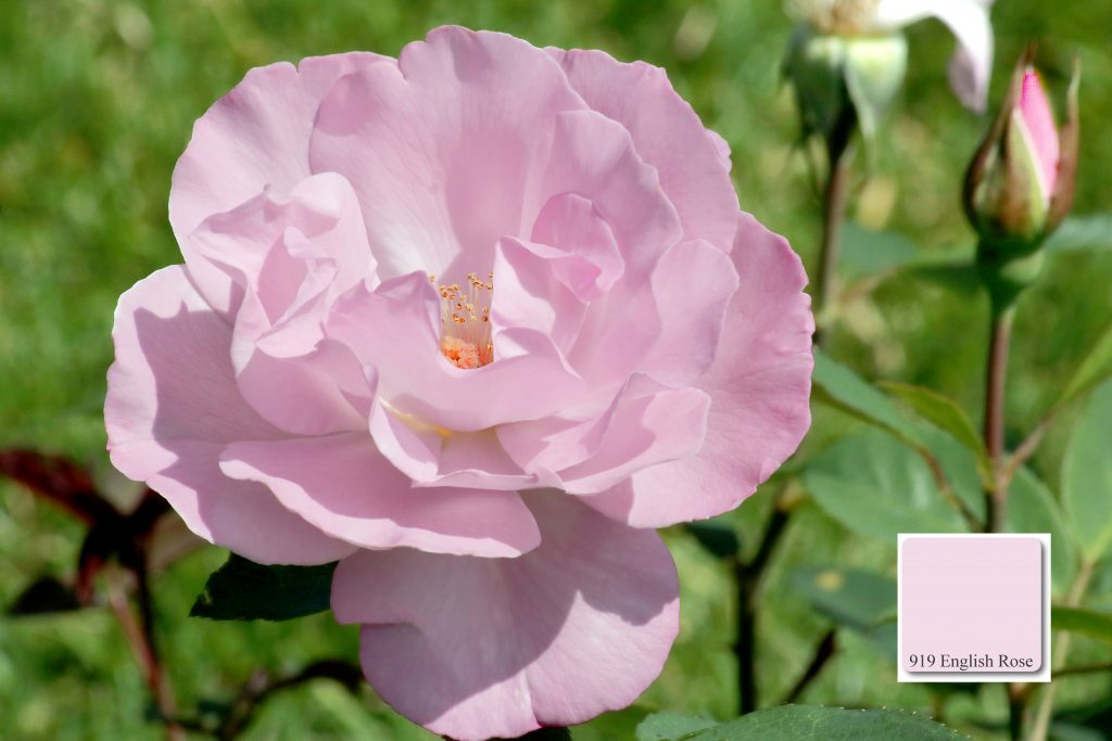 apprico Colours_English_Rose
