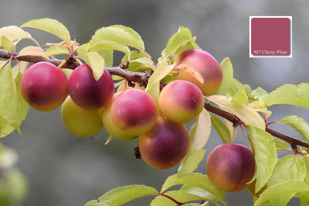appricocolours_cherry_plum